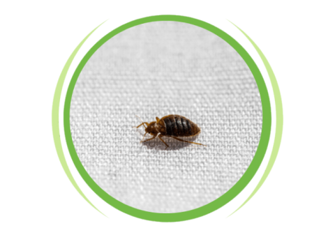 Bedbugs Control Services in Chennai