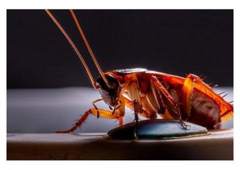 Cockroach control services in Chennai