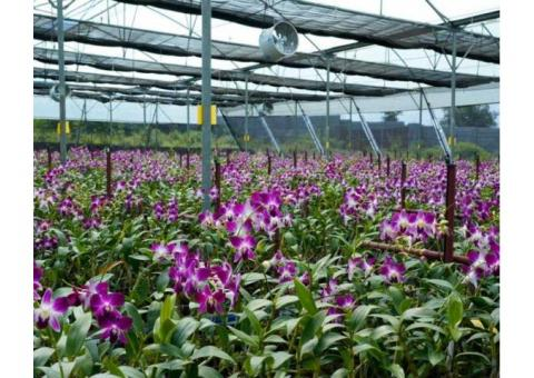 Orchid Cultivators, Exporters & Suppliers in India - Copia Agri Pvt Ltd